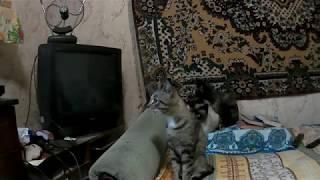 """Кошки реагируют на звук """"Кошачья драка"""""""