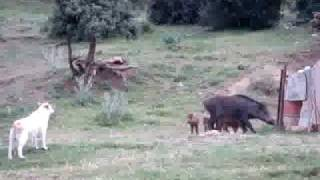 خنزير يتحدى الكلاب من ولاية خنشلة