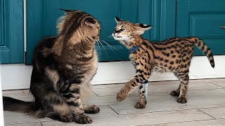 SERVAL LOOKING FOR APPROACH TO CATS / Funny duck from Maurizio
