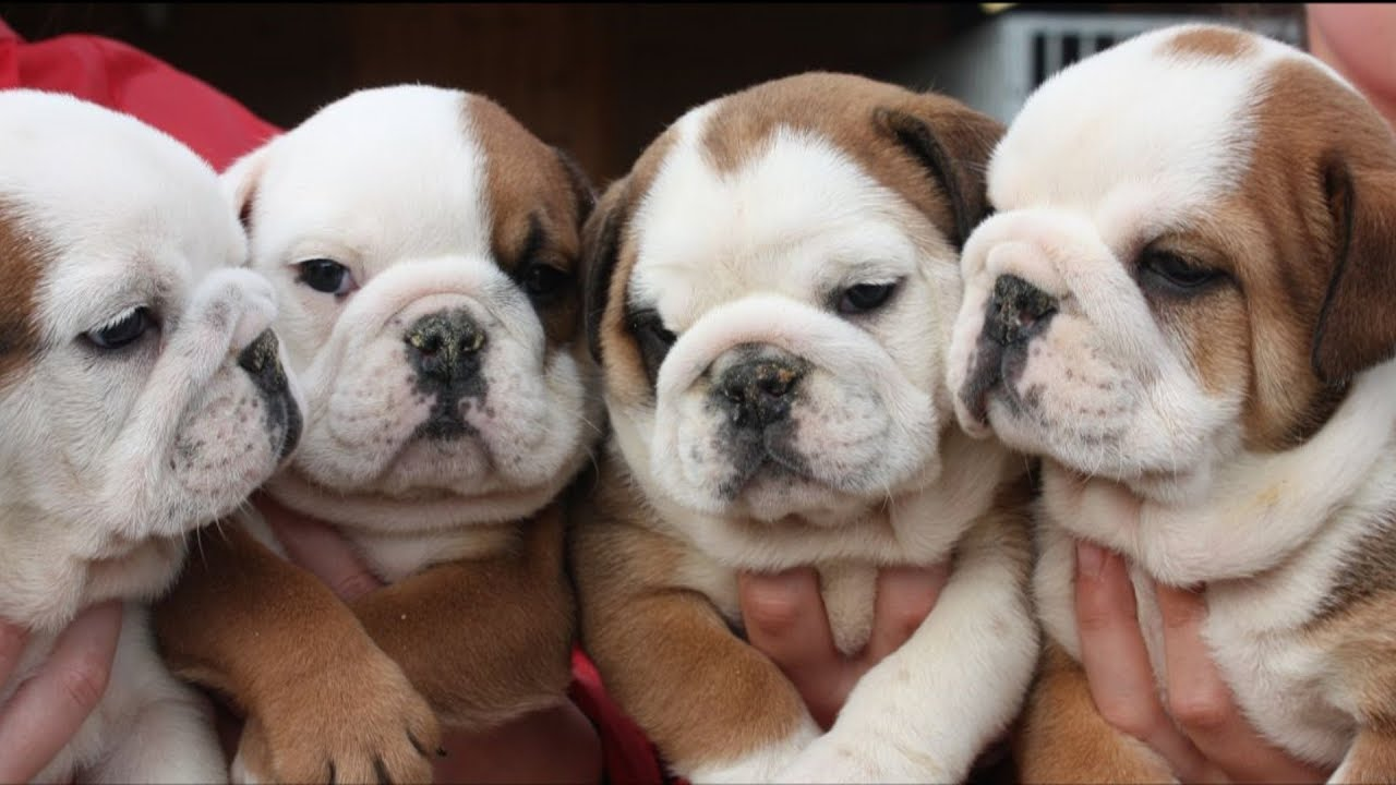 facts about english bulldog puppies
