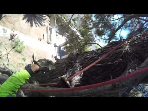 Removal Canary Island PineTree,Speed line,