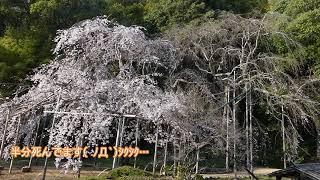 今年の曹源寺のしだれ桜はサッパリだよ。 thumbnail