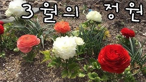 3월 정원에 핀 꽃들 (크로커스, 라넌큘러스,비올라 등)