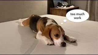 Lindo beagle no quiere mudarse de casa