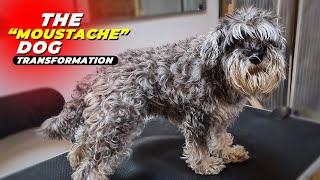 AMAZING SCHNAUZER DOG GROOMING Transformation #2