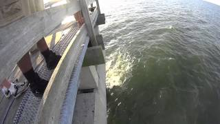 8-15-15 | Ocean View Fishing Pier | Cow Nose Ray