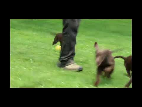 Chocolate Labrador Retriever Puppies For Sale