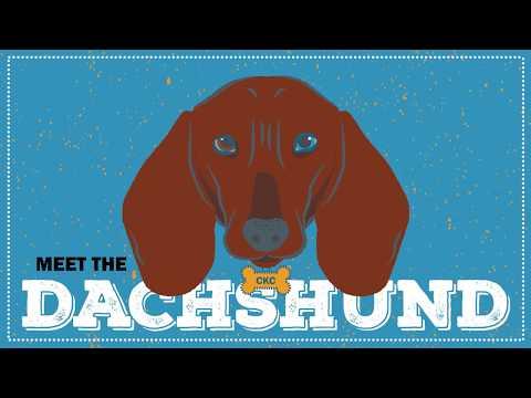Breed Spotlight: the Dachshund