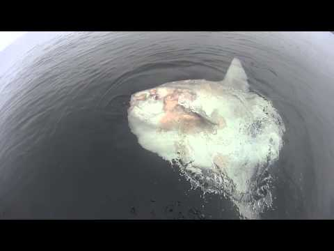 Close Encounter With An Ocean Sunfish (Mola Mola)