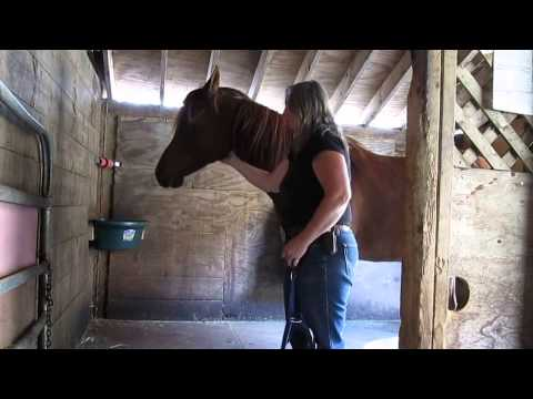 Hard to halter Arabian rescue in stall.