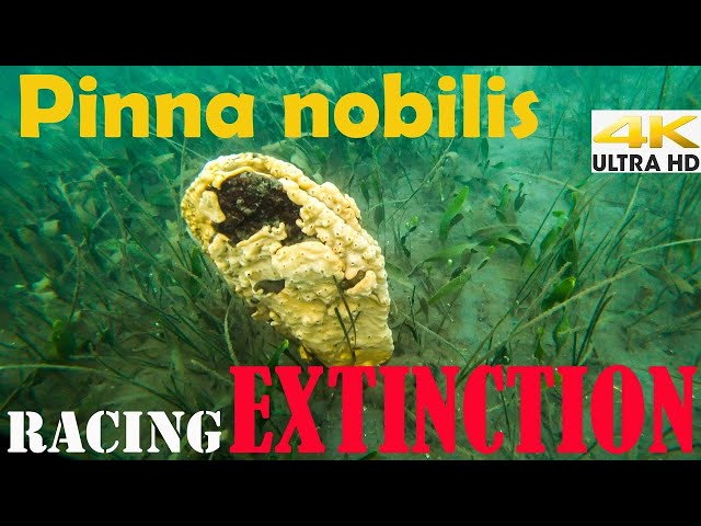 The End of Pinna nobilis?🆘Racing Extinction |Spearfishing Life 🇬🇷 [4K]✅