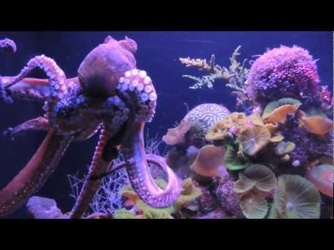 Octopus opens a bottle in Underwater Marine Park in Eilat