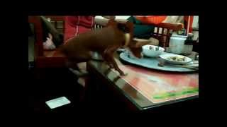 Min Pin Jumping For Food