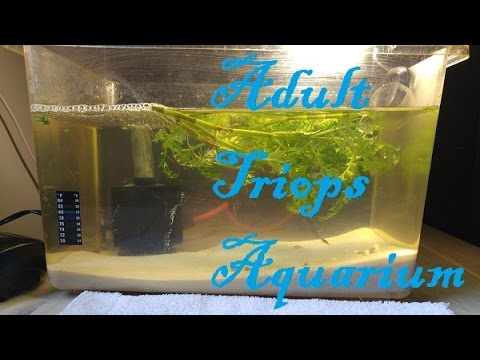 Triops Day 9 Adult Aquarium Set Up