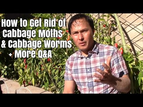 How to Get Rid of Cabbage Moths / Worms + More Gardening Q&A