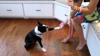 Boston Terrier Dog Clover Reading and Doing Math