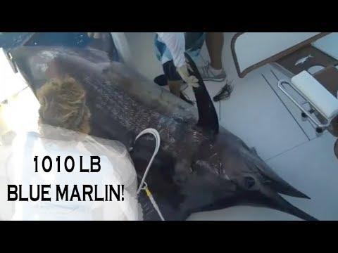 1000 LB bLUE MARLIN TOURNAMENT CATCH!   Billfish Movement TV 047