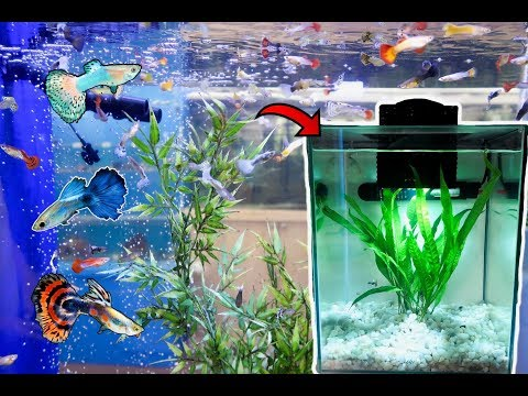 COLORFUL GUPPIES Meet BETTA FISH!