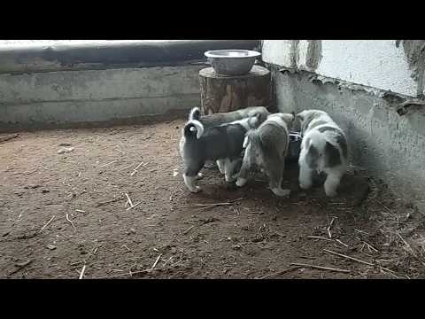 Видео: Щенки ) ЗСЛ МАМАЙ и Бойка