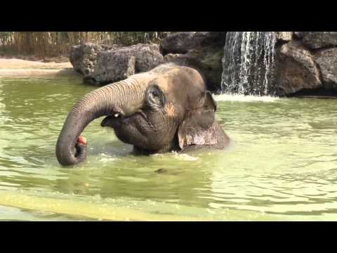 Elephant eating an apple in the water