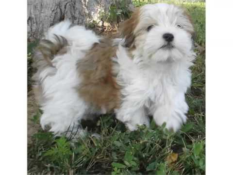 havanese dog breed collcetion of pictures of breed havanese dogs