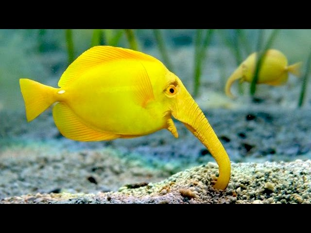 Fish With Elephant Head World Famous Fishes Types Of Fishes Youtube