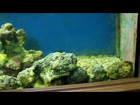 Amazing Fishes - Stonefish Feeding