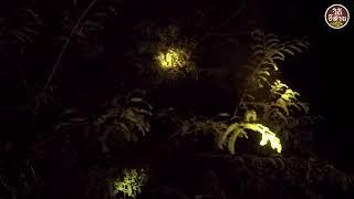 ดักซุ่มยิงนก ตอนกลางคืน ตามต้นไม้พอได้กินแลง หาอยู่หากินแบบ วิถีอีสาน