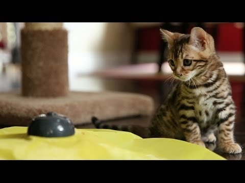 Bengal Kittens Mesmerized by Spinning Circle Toy