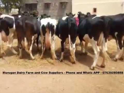 HF,JERSEY COWS FOR SALE IN KERALA- WWW MURUGANDAIRYFARM COM