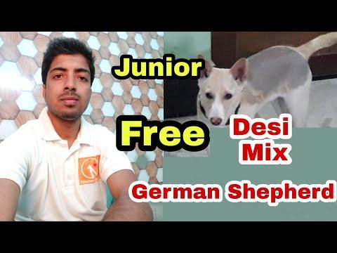 Free Desi Mix Junior German Shepherd