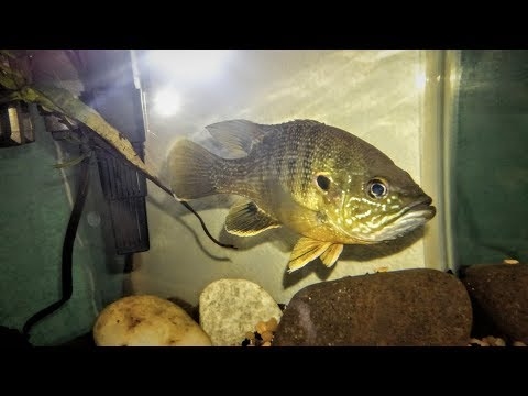 Amazing! Live Feeding My Pet Green Sunfish Live Feeder Fish!