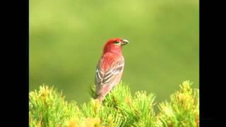 ギンザンマシコ(1)さえずりと地鳴き- Pine grosbeak - Wild Bird - 野鳥 動画図鑑