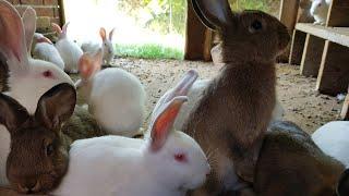 Hodowla królików# zmiany na wybiegu informacje hodowlane