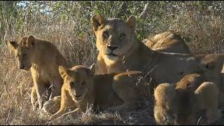 WE SafariLive- The Nkuhuma Lion Pride on Djuma and Little Gowrie!