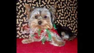 Christmas Yorkies By Florida Yorkie Rescue