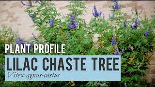 Lilac Chaste Tree: Plant  Profile