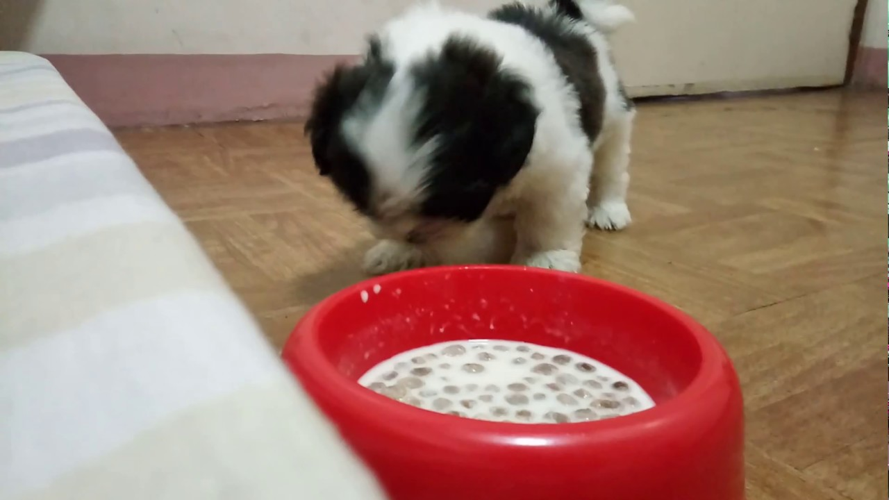 Shih Tzu Puppys First Meal Dog Food Two Months Old Youtube