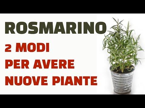 Rosmarino ecco 2 modi per ottenere nuove piante