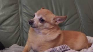 Собака мяукает поёт говорит мяу ЧИХУАХУА ВЫ НЕ ПОВЕРИТЕ