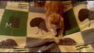 Кот экзот.