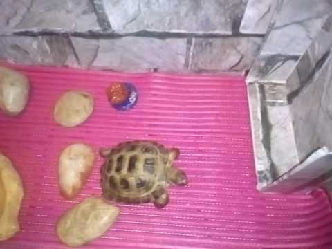 4 окт 2011. Подробнее на моем блоге http://dadanov. Ru/tortoise-turtle/ сухопутная черепаха в домашних условиях более 20 лет подробнее о.