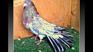 Николаевские голуби. Гон  2015 КРЫМ(+79787169329., 2015-02-20T12:36:06.000Z)