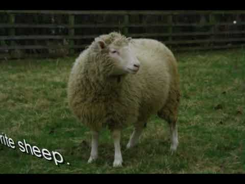 How they cloned Dolly the sheep.