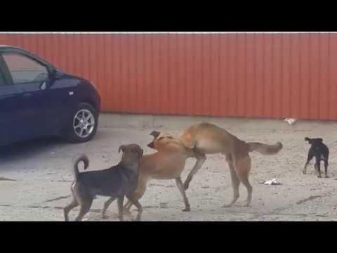 Видео боя собак