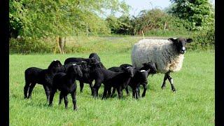 Kako do ovčarnika - da li od drvenog ili tvrdog materijala?