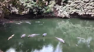 Krokodyle - one tylko wyglądają jak sztuczne...- Kachikally - Gambia - Afryka