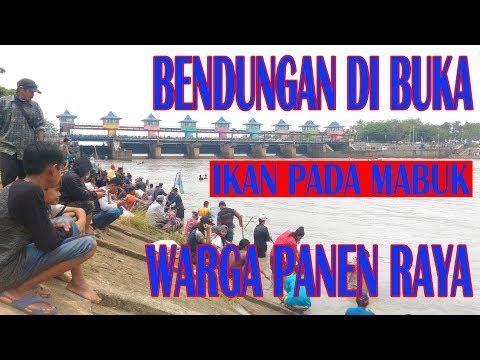 Warga panen ikan saat bendungan Pamarayan dibuka 2018