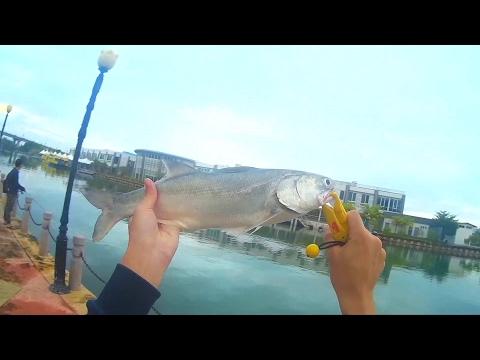 Casting threadfin (Senangin) Chasing bait fish! Fishing at malacca. (Malaysia)