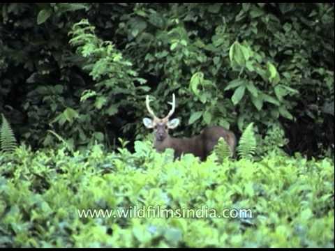 Sambar deer (Rusa unicolor) at Kaziranga National Park
